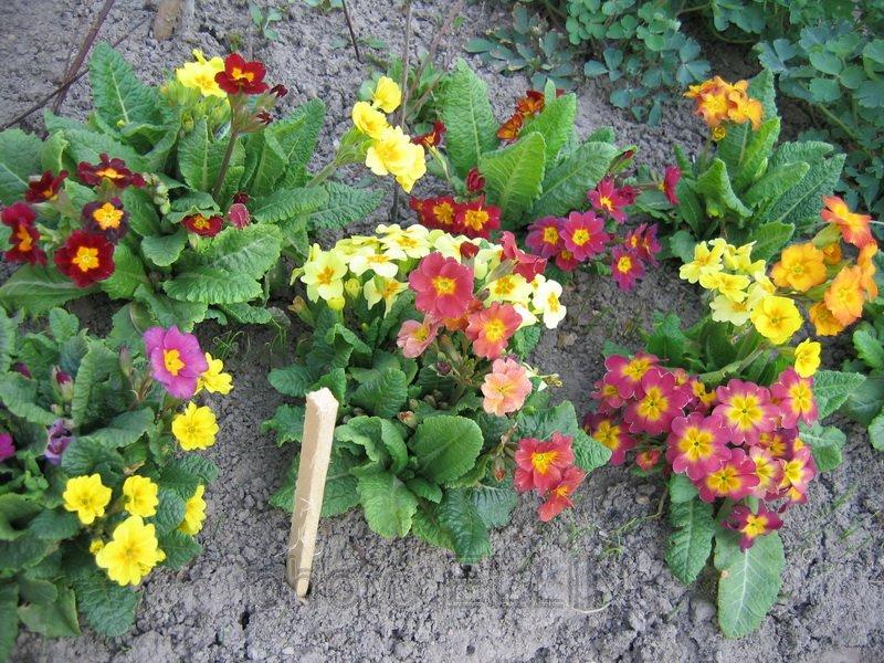 Примула махровая рози выращивание из семян фото 41